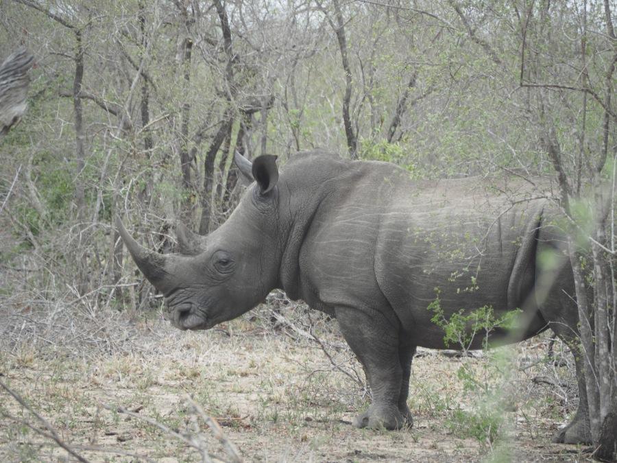 Unser erstes Nashorn