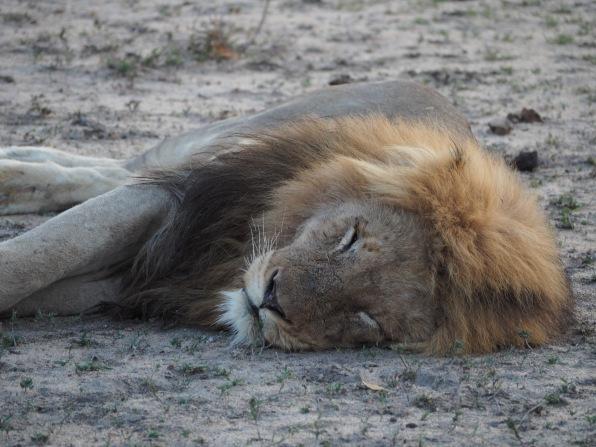Fauler Löwe