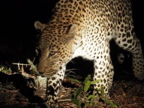 Leopardenmännchen