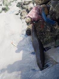 Dressierter Seelöwe im Hafen von Hout Bay